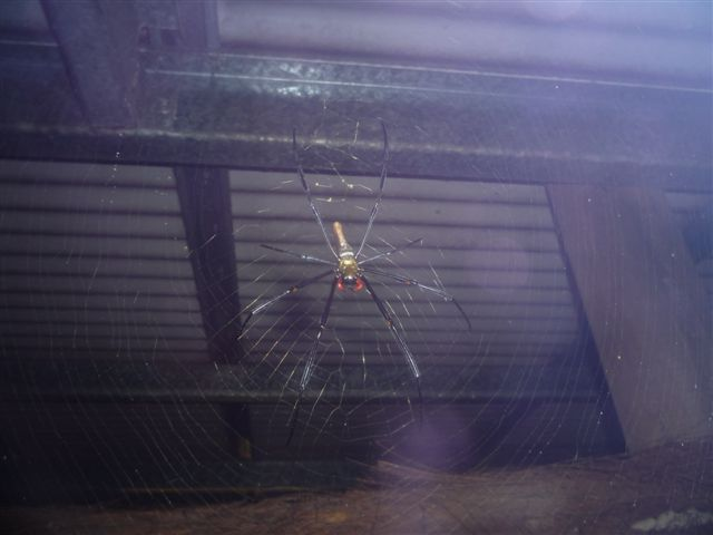 Golden Silk Orb Weaver outside my hut in Cape Tribulation