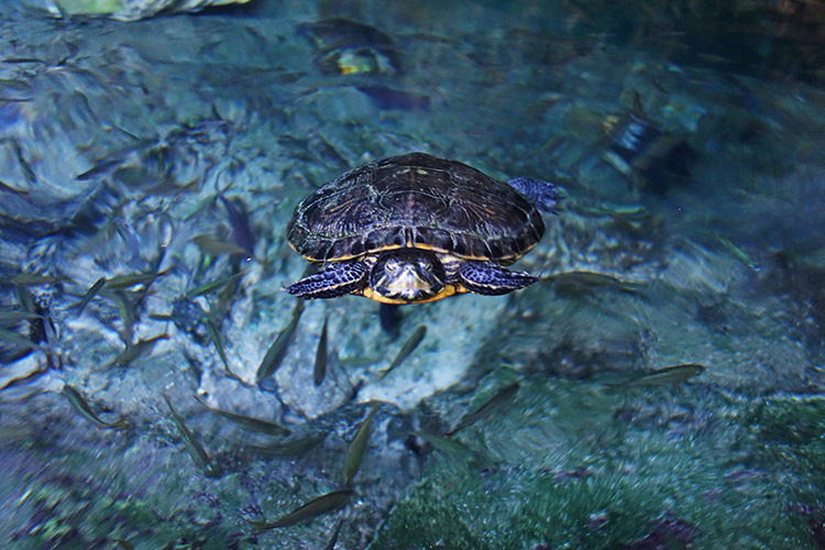 Turtles in Gran Cenote Tulum Mexico