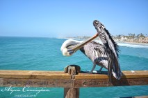 Photo of pelican cleaning it's feathers at the pier in Oceanside, CA.