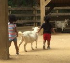 Petting goats at the zoo