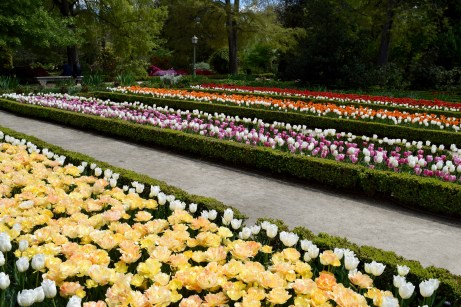 Rows of blooming tulips