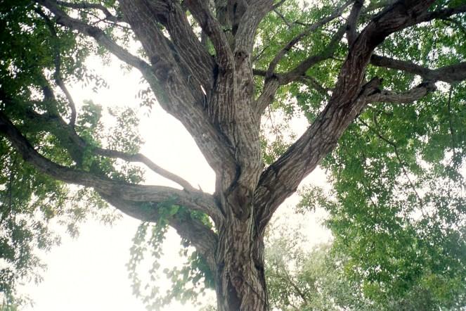Oak Tree - Ricoh 00G