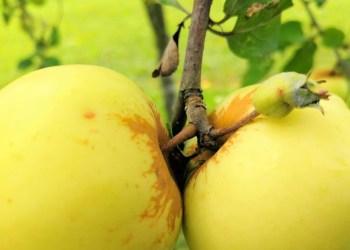 Perdirbėjai gyventojams už krituolių obuolių kilogramą moka 3-4 centus, stambiems obuolių augintojams apie 7 centus. Pernai kaina buvo aukštesnė 3 kartus – iki 20 centų