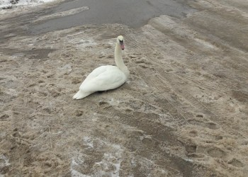Po maitinimo atsigavusi gulbė gatvėje prie pilnai užledėjusios Nemuno upės Alytuje. Skaitytojo V. Š. nuotr.