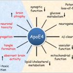 ApoE4対立遺伝子のリスクと治療アプローチ