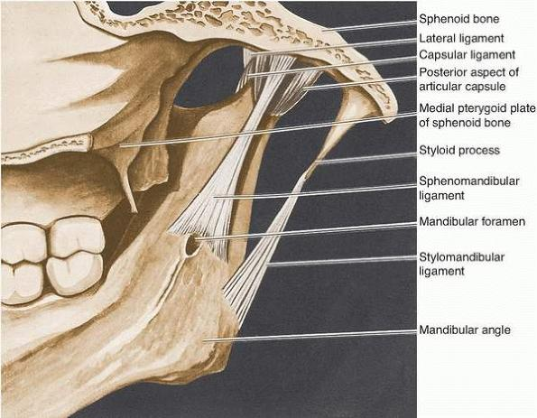 Anatomy of TMJ