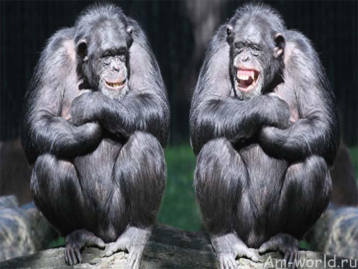Говорящие на амслене обезьяны