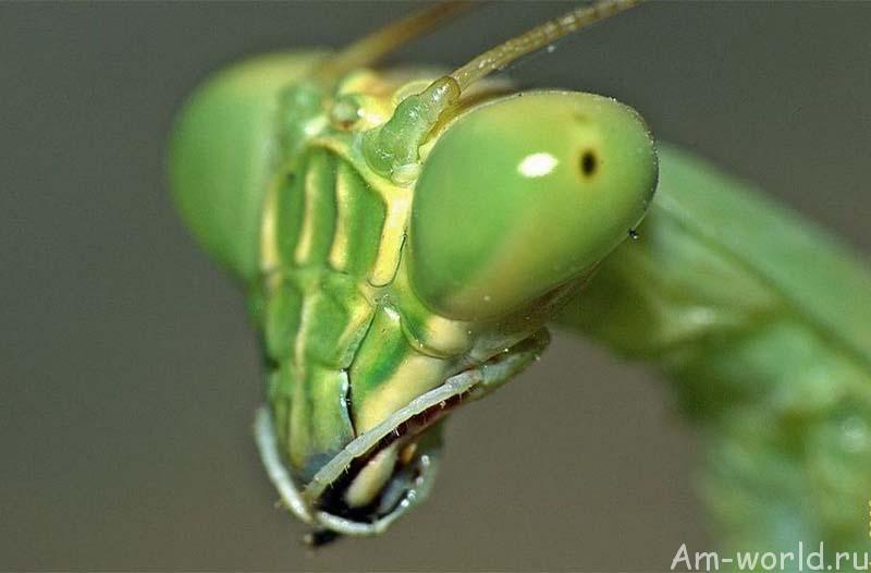 Богомол — это вам не таракан