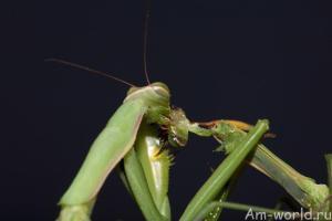 Богомол - это вам не таракан