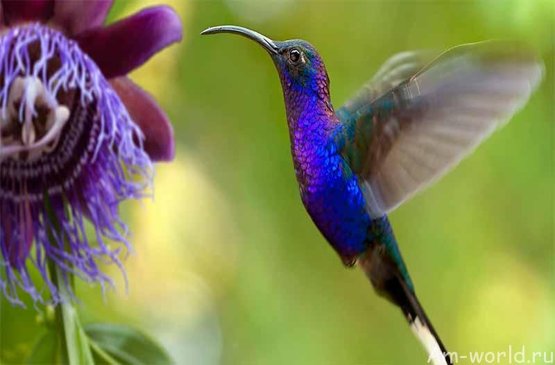 Колибри — маленькая птичка с большим сердцем