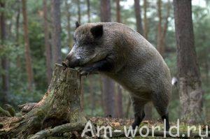 Свинья - это не только шмат сала