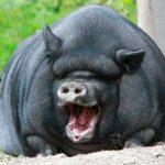 Свинья — это не только шмат сала!