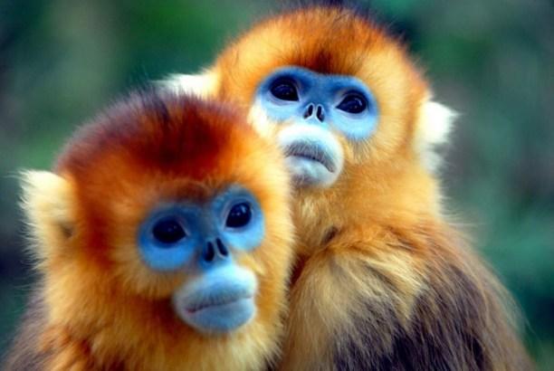 Малознакомые виды обезьян