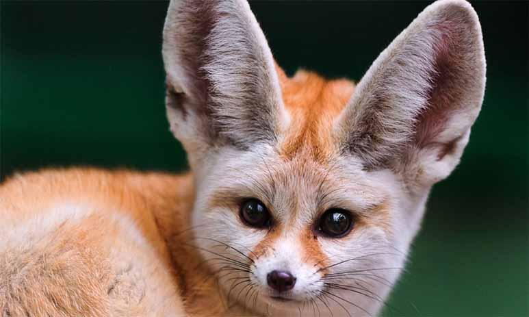 Фенек — «плюшевая» степная лисица