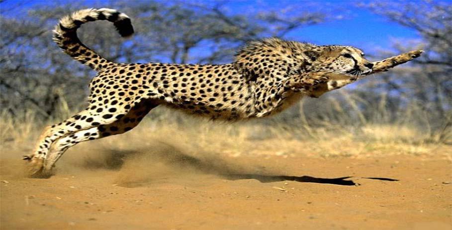 Гепард - не пес, не кошка