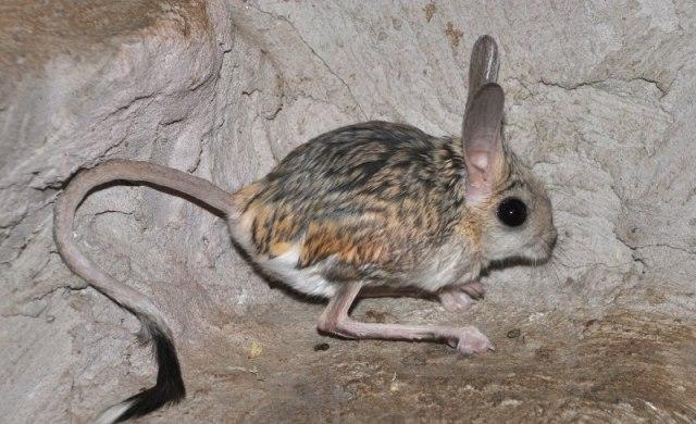 Тушканчики - миниатюрные кенгуру 2