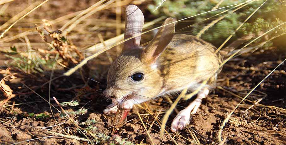 Тушканчики — миниатюрные кенгуру