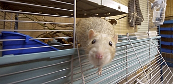 HEALTH OFFICIALS ALERT INDIANA RAT OWNERS TO POSSIBLE EXPOSURE TO ...