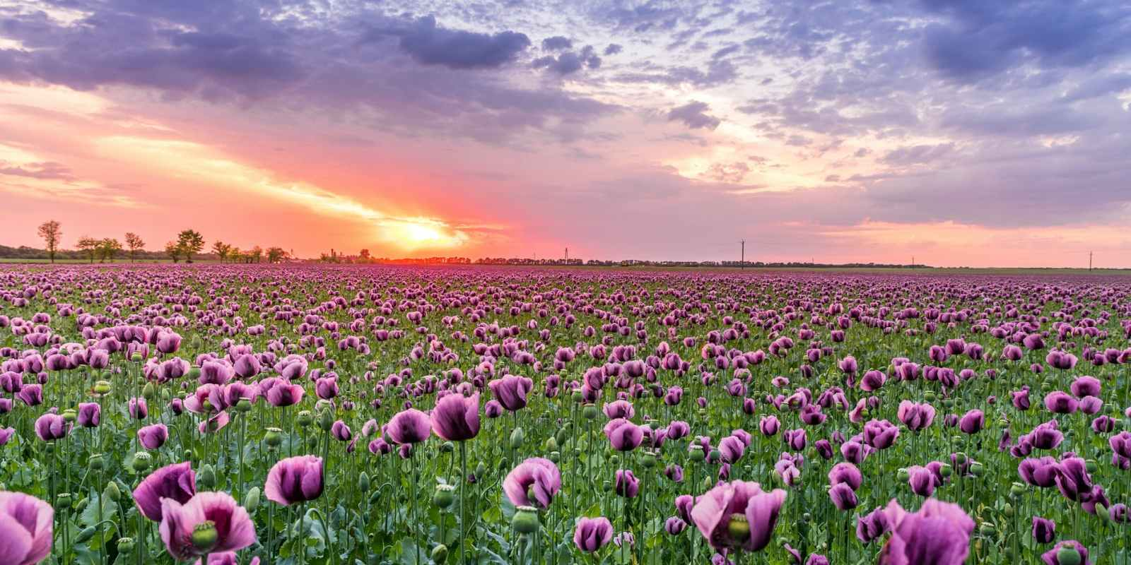 purple petaled flower field