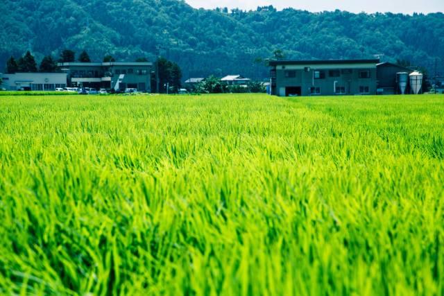 富山の黒部あたり、緑のカーペット。(撮影者 小西裕太 2013/07/18)