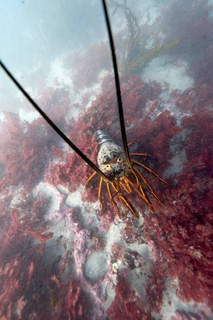 La Jolla Cove Diving - Spiny Lobster saying Nope