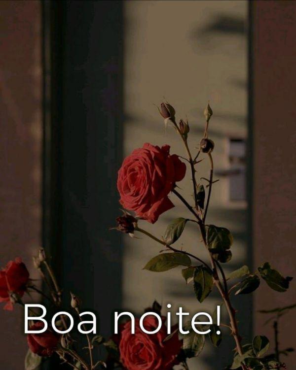 linda rosa vermelha com boa noite
