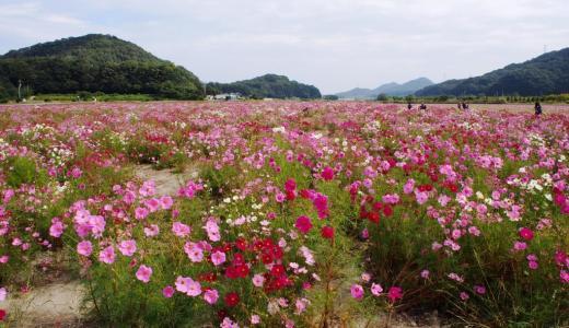 岡山県道の駅「笠岡ベイファーム」広大なお花畑といちじくシュークリーム!魚のつかみ取りも出来るよ