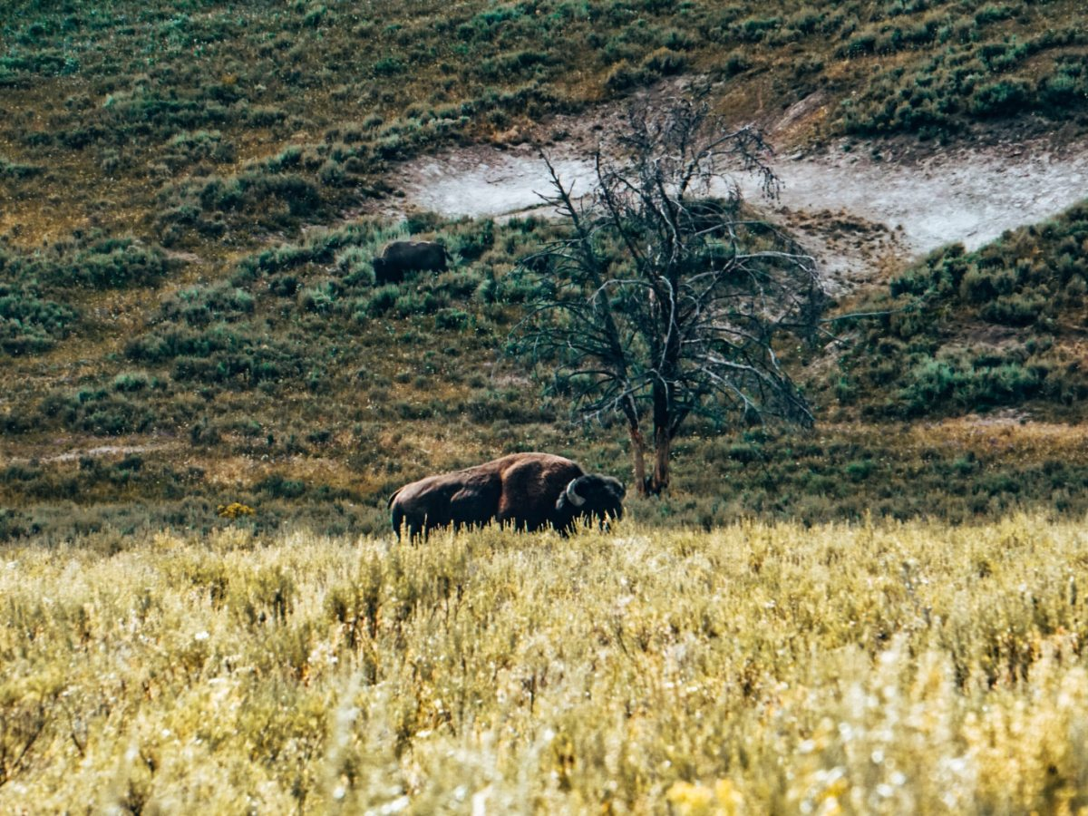 Lone bison at Yellowstone