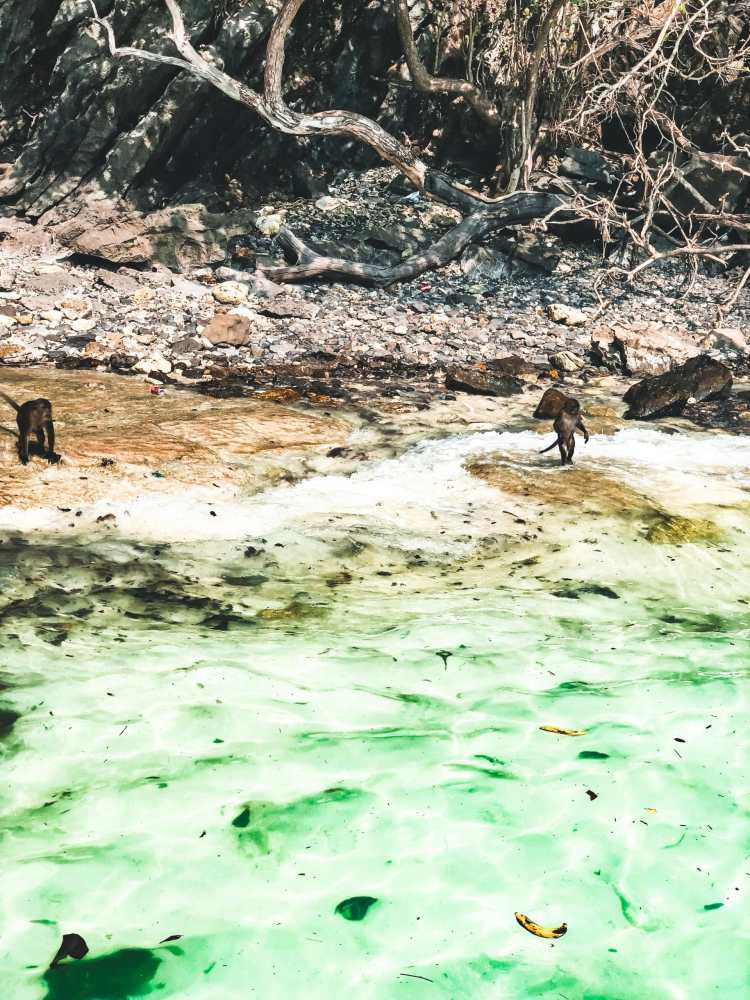 Monkeys wading in the water at Monkey Beach