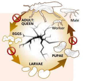 life-cycle-ants-300x283