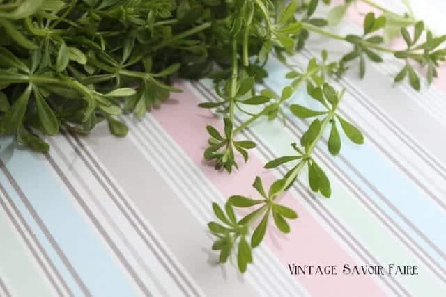 fresh clivers: galium aparine