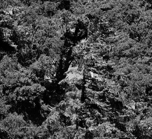 pine-tree-comp-1-flattened-crop-2