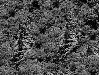 pine-tree-comp-1-flattened-crop-3