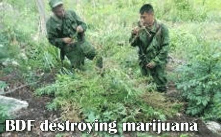 destruction-of-marijuana