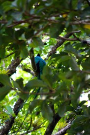 Beautiful male Quetzal - another one ticked off the list!