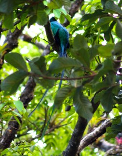 Male Quetzal