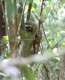 Three-toed sloth starting its slow descent