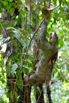 Three-toed sloth - markings on his back show he is male, not an injury