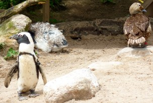 African penguins, Living Coast, Torquay