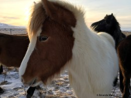 Icelandic horse. Small and fluffy