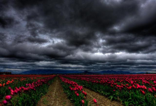 Sunflower Hd Wallpaper 1080p Campos De Tulipanes Holanda