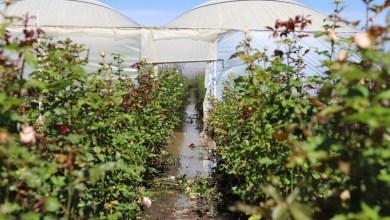 Photo of El Organal reporta afectaciones en 73 hectáreas de cultivo de rosas