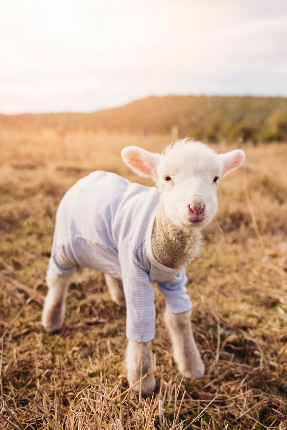 a tiny lamb in an even tinier tshirt