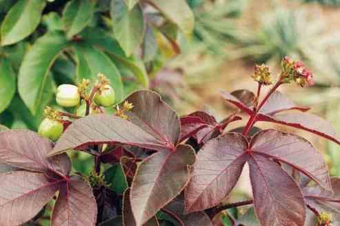 Enfin, le Jatropha rouge la plante qui rend la charge virale indétectable