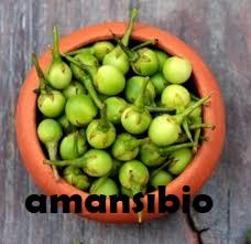 aubergine sauvage amansibio