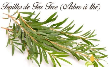 L'arbre à thé