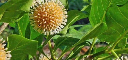 Naucléa latifolia au Cameroun