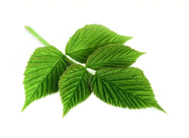 Les feuilles de framboise