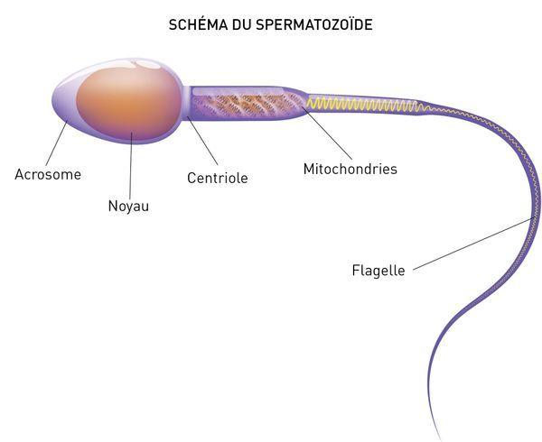 L'effet de l'épididymite sur la qualité des spermatozoïdes