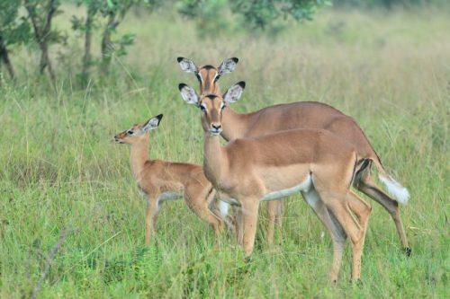 Une famille d'Impalas